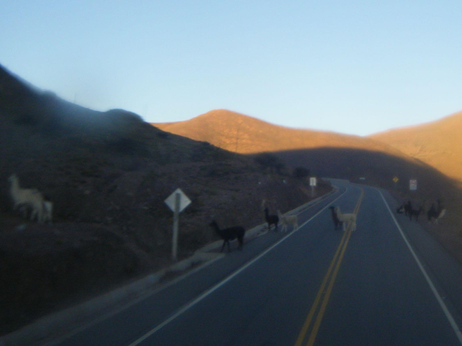 alpaca and llama on the road