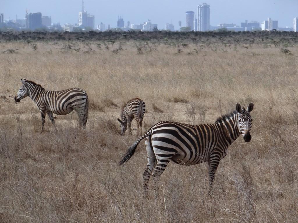Zebra and Nairobi