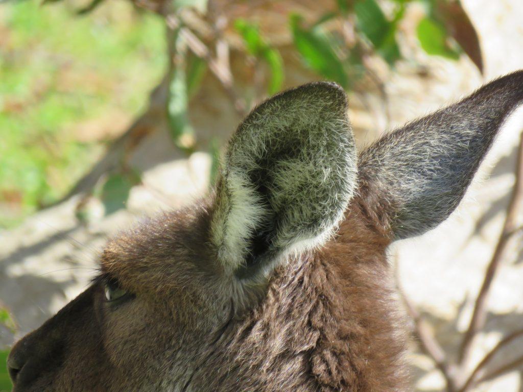 Kangaroo ear