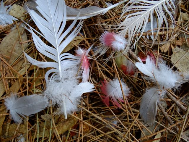 feather collecting